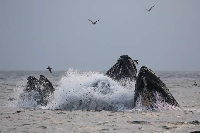 Humpback whales lunge for anchovies near Monterey Bay Whale Watch's Sea Wolf II boat last week. (Jodi Frediani -- Jodi Frediani Photography)