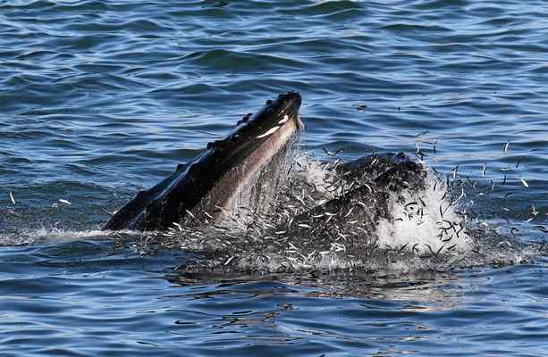A humpback whale surfaces to feed on anchovies in Santa Cruz's Mitchell's Cove in late September. (Jodi Frediani -- Jodi Frediani Photography)