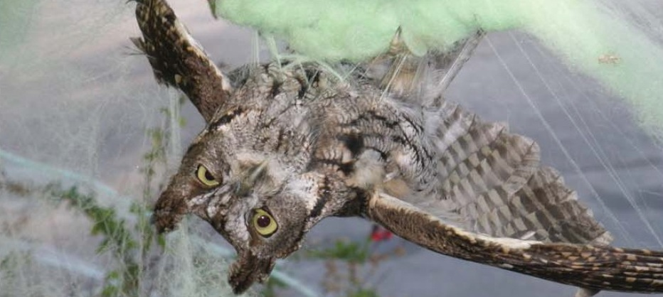 a western screech owl caught in halloween decorations those fake cobwebs are scary for reals
