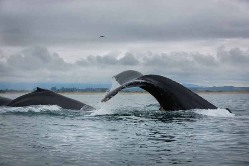 Whale activity in the Monterey Bay has been unusually high in recent months. Photo: Neil Simmons