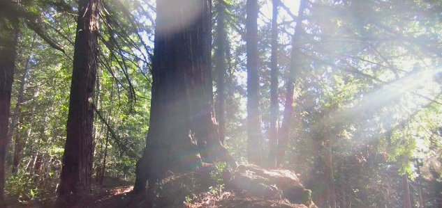 We won't say exactly WHERE the tallest redwood in the Santa Cruz Mountains resides, but you can see it from Meteor Trail in Big Basin. Hilltromper photo.